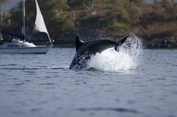 Dolphins Isle Of Mull Scotland