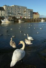 Swans at St Andrews Harbour Scotland