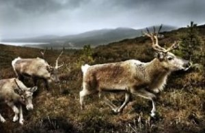 Reindeer in the Cairngorm Mountains Scotland