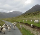 Sheep in the Highlands